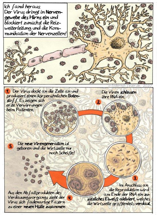 Infektionsverlauf in Nervenzellen